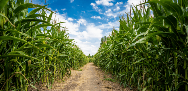 fun corn maze located on a farm